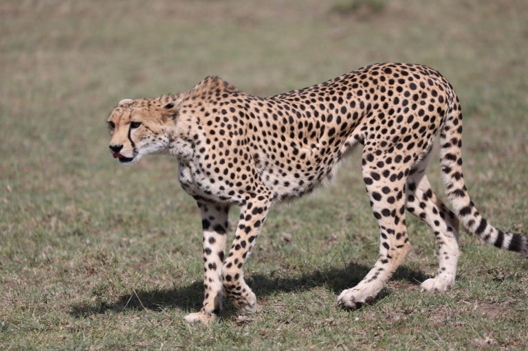 This cheetah really needs to eat!