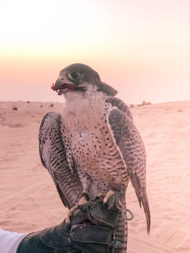 The falcon with his food