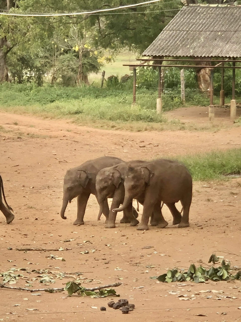 Baby elephants after having their milk