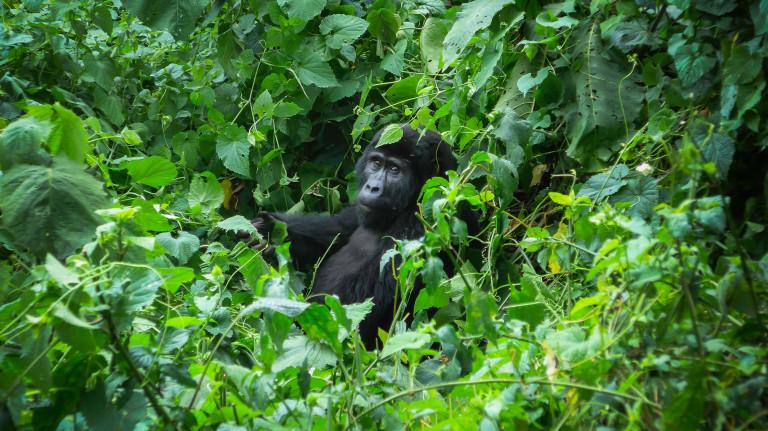 Uganda Gorilla Forest