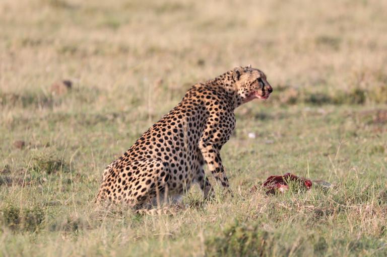 Having to stop eating to keep alert of her prey
