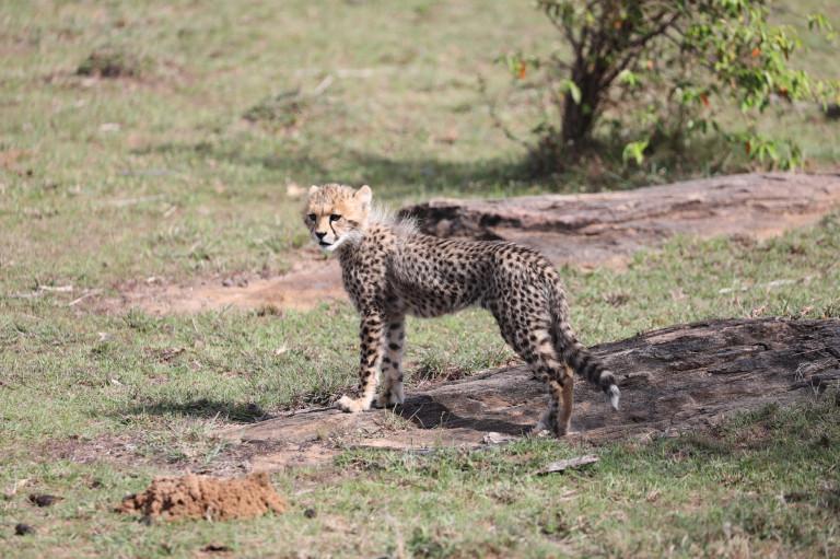 Baby cheetah 1