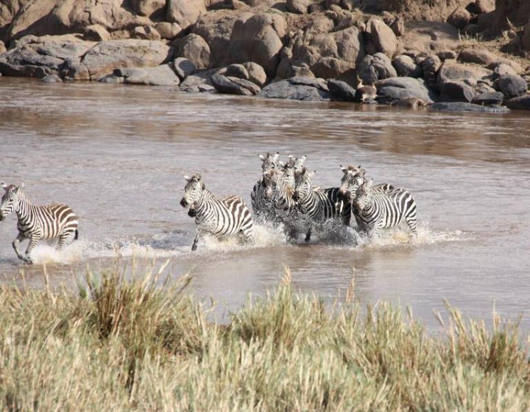 Zebras crossing the river