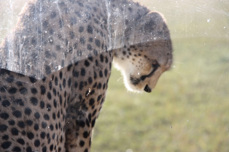 A cheetah upclose on our car